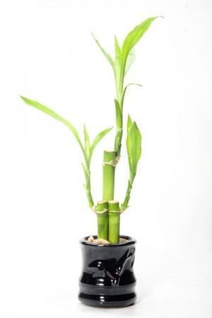 Bambú De La Suerte Tronco De 20 Cm Suelto Sólo Cdmx