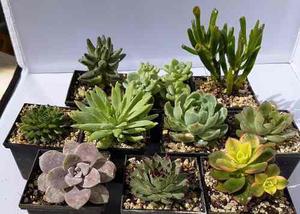 Plantas Suculentas En Maceta 6 Cm, Suculentas De Colección