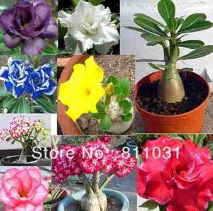 15 Semillas De Rosas Del Desierto Todas Germinan