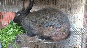 Conejo para cria o consumo