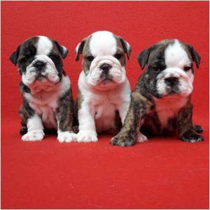 Cachorros Bulldog Ingles (opción A Pedigree)