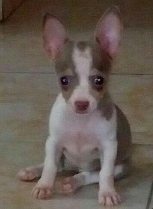 Chihuahua - Anuncio publicado por Milliee