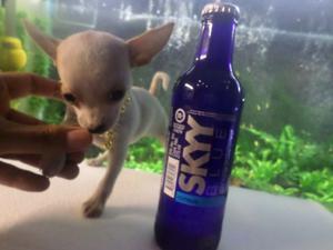 Preciosas Hembras Chihuahua de bolsillo