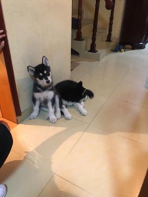 Siberian Husky cachorro