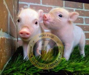 Minipig Mini Pig Cerdito Niños Totalmente Rositas