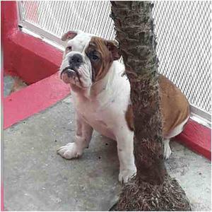 Hembras Bulldog Ingles Con Pedigree, 9 Meses