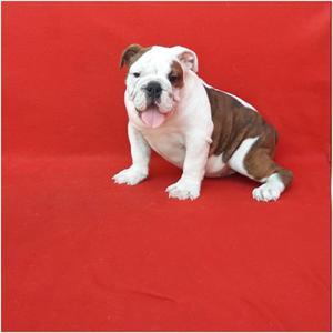 Hembras Bulldog Ingles Con Pedigree Fcm, Realizamos Envíos