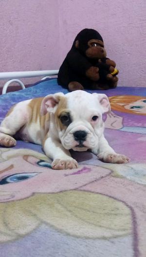 Cachorritos Bulldog ingles