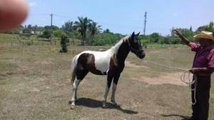 Ponys Aprox 1.10 Altura Mansos De Silla, Enteros Y Castrados