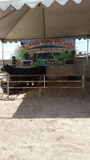 En venta Black Angus Aberdeen vacas prendas y varios