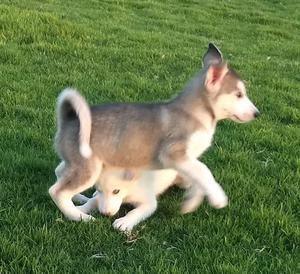 Hermosos Siberian Husky