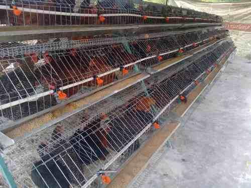Jaula Gallina Ponedora 120 Aves Blancas O 90 Pesadas