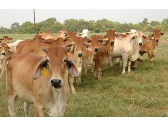 terneros lecheros de alta calidad disponibles