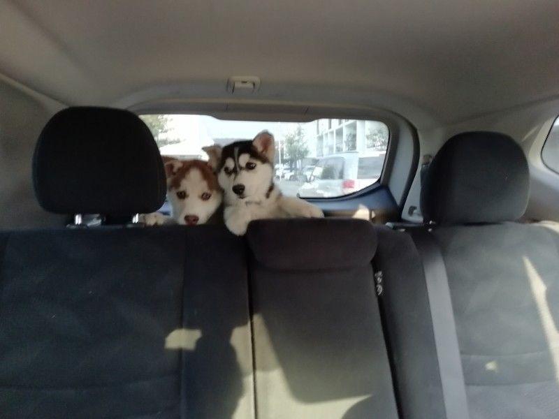 Venta de perritos Husky