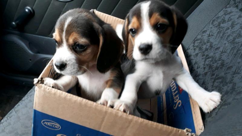 Cachorros beagles a la venta todas las tarjetas