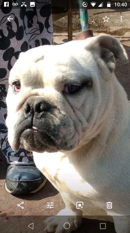 Bulldog ingles blanco 9 meses, FCM