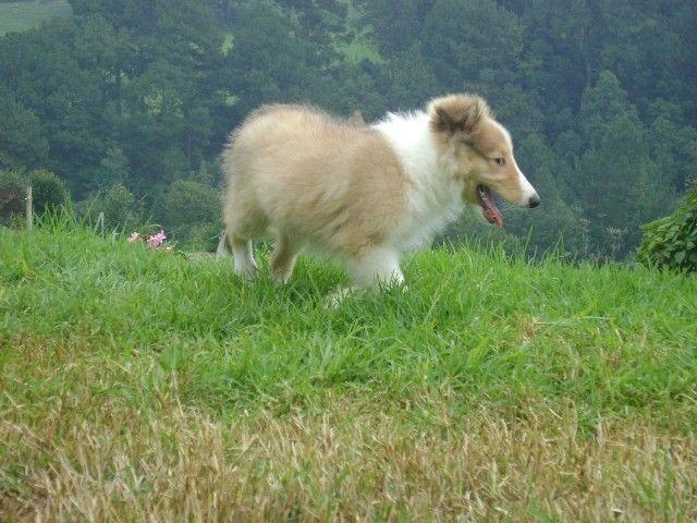 Cachorros Rough Collie de padres importados