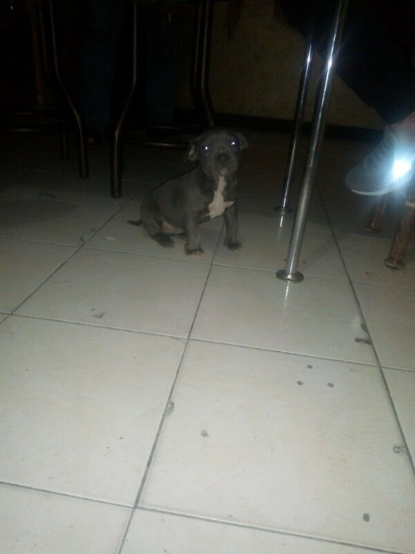 Cachorra pitbull blue