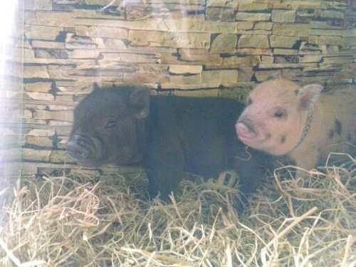 Cerdito Mini Pig Color Negro