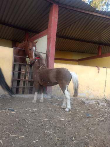 Caballos Ponys En Venta!!!!