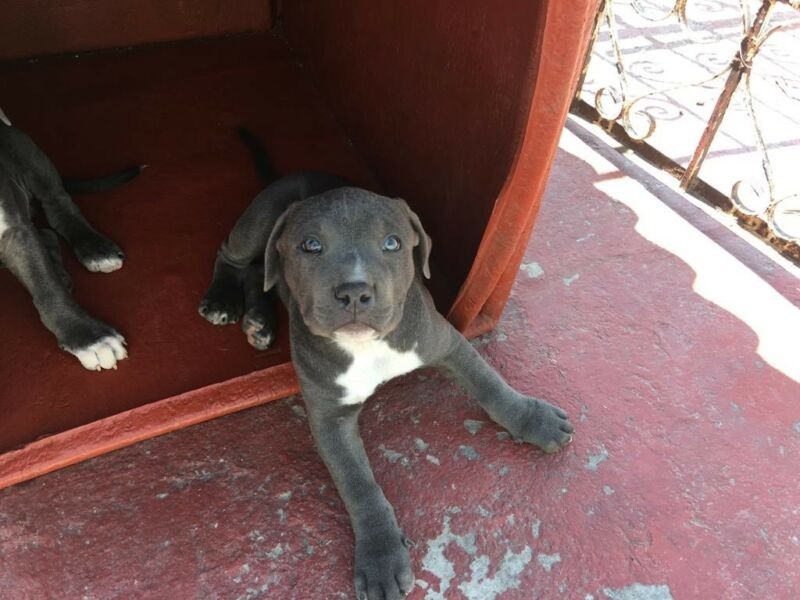 Pitbull blue cachorras