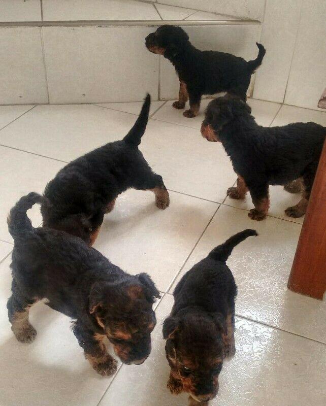 Hermosos cachorros airedale terrier pelos de alambre puebla