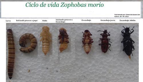 Venta De Alimento Vivo 10 000 Zophobas A $0.40 C/u:o