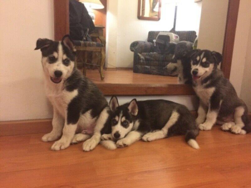 Hermosos cachorros siberian husky SOLO HEMBRAS, color blanco