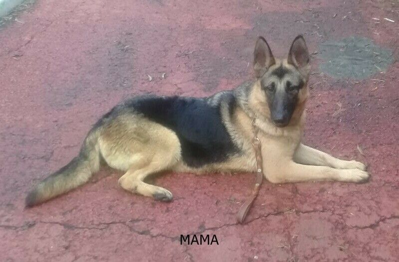 Cachorros pastor alemán linea de trabajo