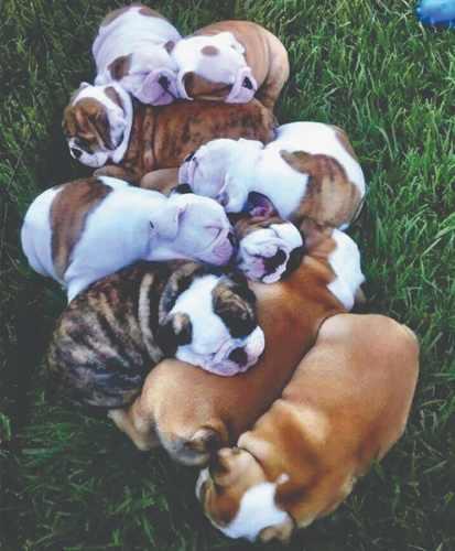 Bulldog Ingles Cachorros Con Pedigree Azul Ya Registrados