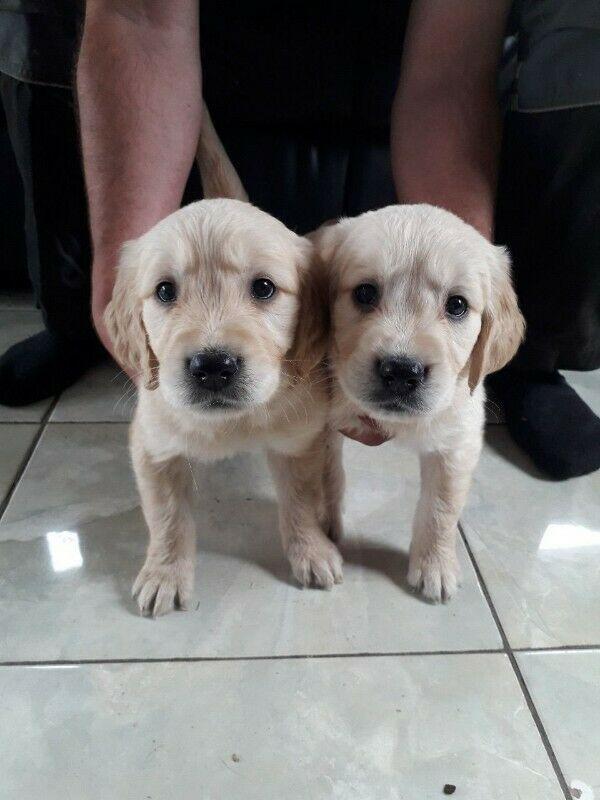 Kc Reg cachorros de Golden Retriever