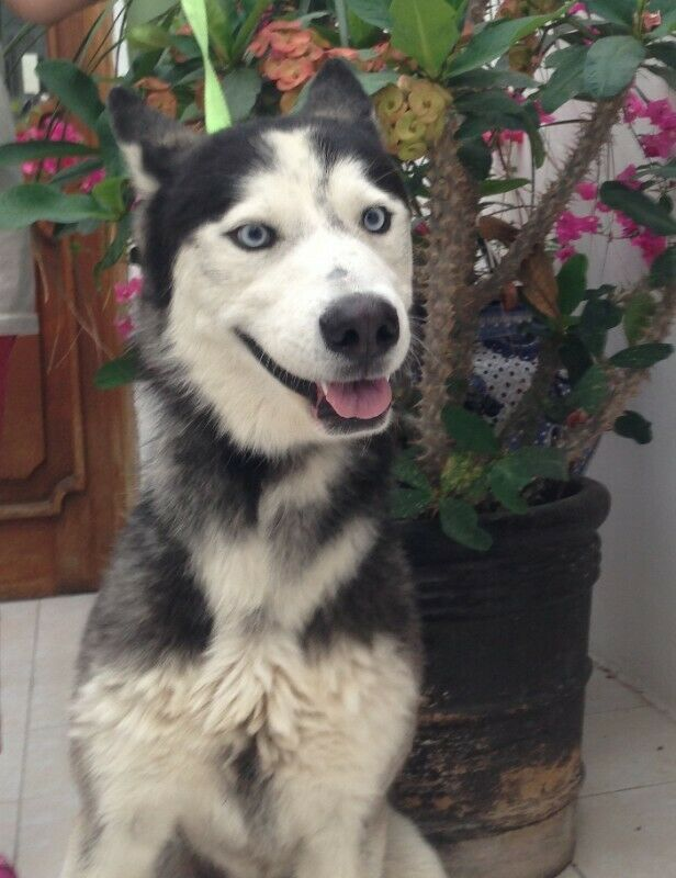 Perrito siberian husky en adopcion