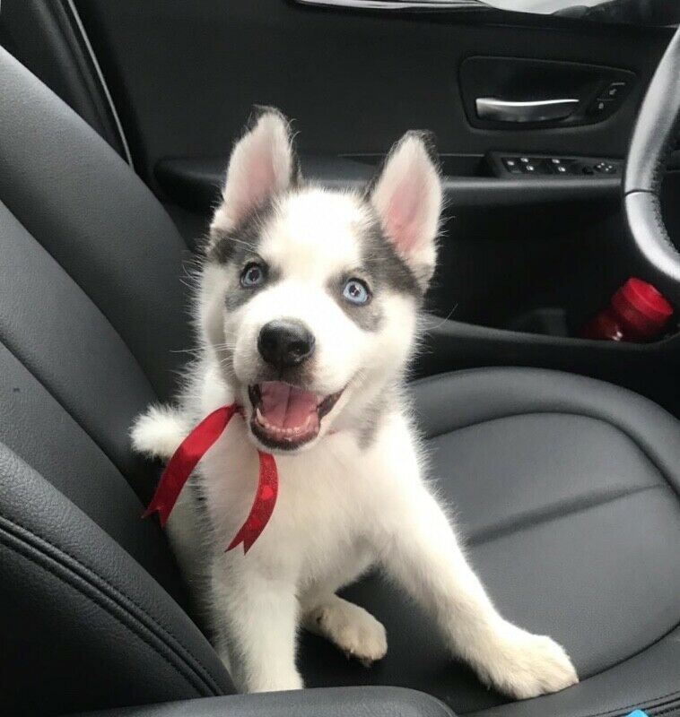 Cachorro Siberian Husky