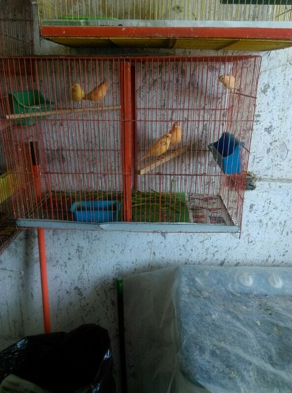 Canarios - Anuncio publicado por mala_alvarez82