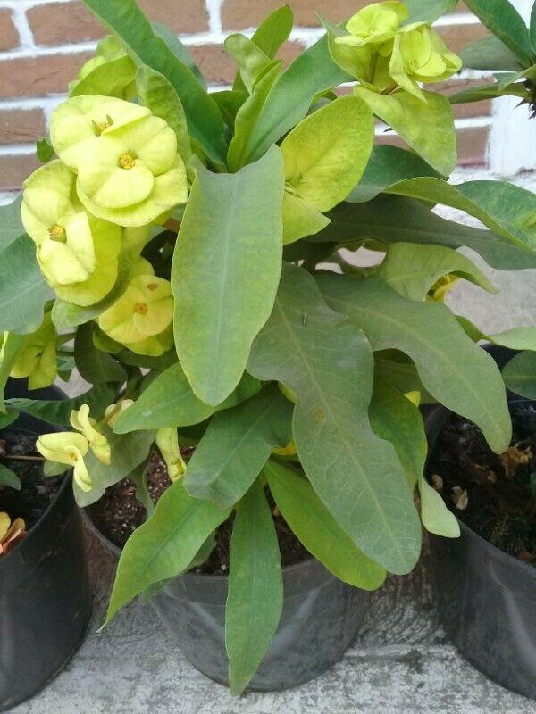 corona de cristo verde limón mata madre $350