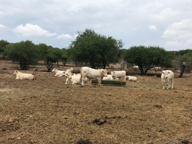 Venta de Vacas y Toros Charolais