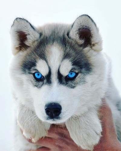 Husky Siberiano Con Opcion A Chip De Identificacion