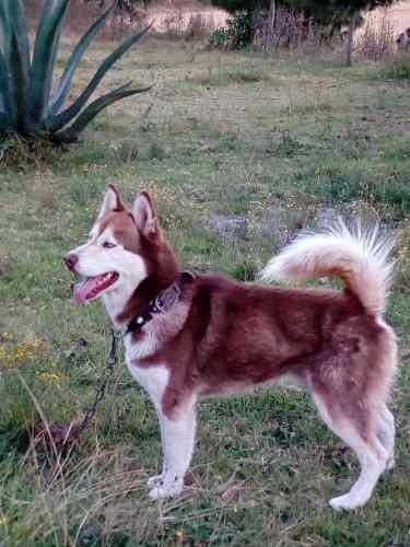 Husky Siberiano Rojo Busca Novia.