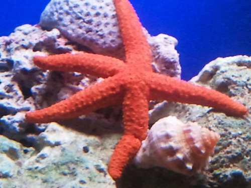Estrella De Mar Naranjas Safe Reef Seguras Para Corales