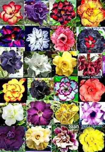 25 Semillas De Rosas Del Desierto Adenium Taiwanesas