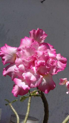 Semillas Rosa Del Desierto Mezcla Flores Exoticas 5 Semillas
