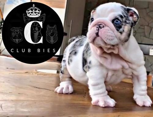 Bulldog Ingles Exotico Calidad Super Premiun Envio Gratis