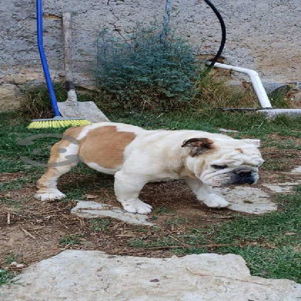 Bulldog ingles súper compacto