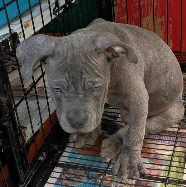 Exelentes Pitbull Blue Con Pedigree Ukc