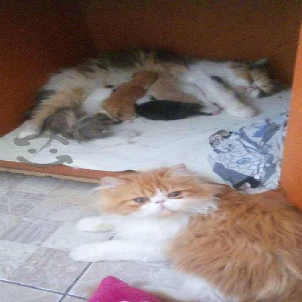Gatos hijos de madre persa
