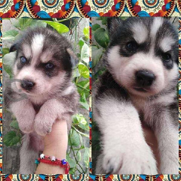 Venta de preciosos Husky siberiano !