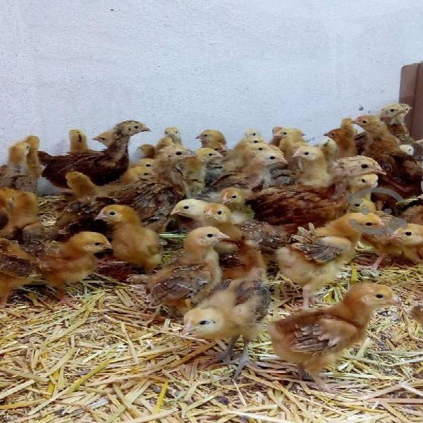 pollita, gallina ponedora